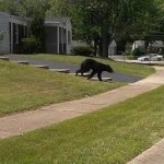 black bear in residential neighborhood